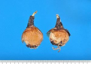 鱗茎(石蒜 せきさん)