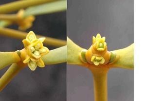 ヤドリギの雄花(左)と雌花(右)