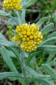 ハハコグサの花