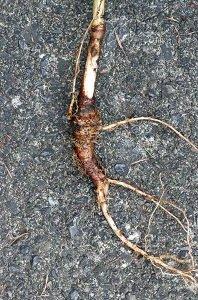 ノダケの根