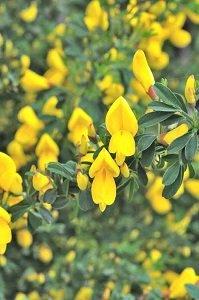 エニシダの花