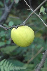 ボケの果実