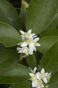 マルミキンカンの花