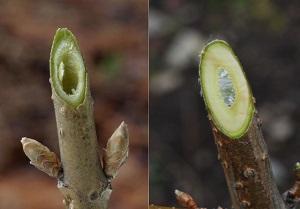 レンギョウ(左)とシナレンギョウ(右)の枝の切断面