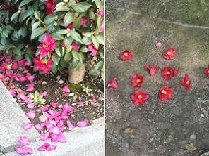 サザンカの落花