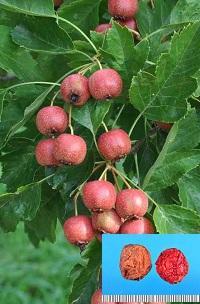 オオミサンザシの果実(偽果)と生薬サンザシ