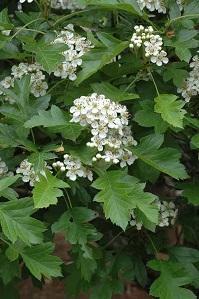 オオミサンザシの花
