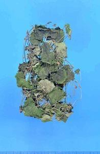 生薬 連銭草