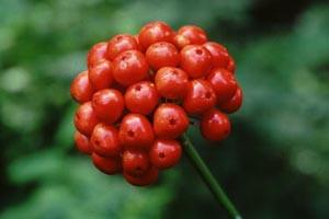 panax japonicus க்கான பட முடிவு