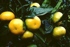 ウンシュウミカンの画像 p1_1