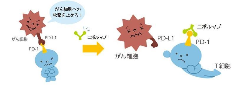 薬学と私_201905差替えイラストニボルマブ作用2.jpgのサムネイル画像