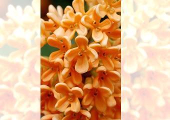 キンモクセイ -生薬の花-