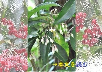 マンリョウ -生薬の花-