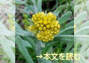 ハハコグサ -生薬の花-