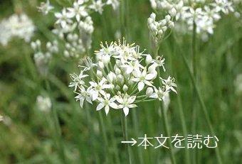 ニラ-生薬の花-