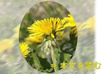 セイヨウタンポポ -生薬の花