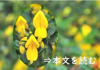 エニシダ - 生薬の花