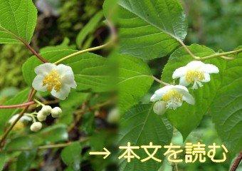 マタタビ - 生薬の花