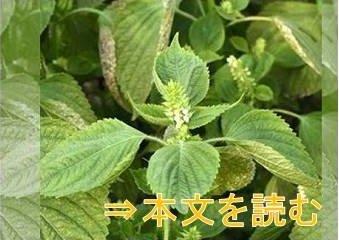 エゴマ - 生薬の花